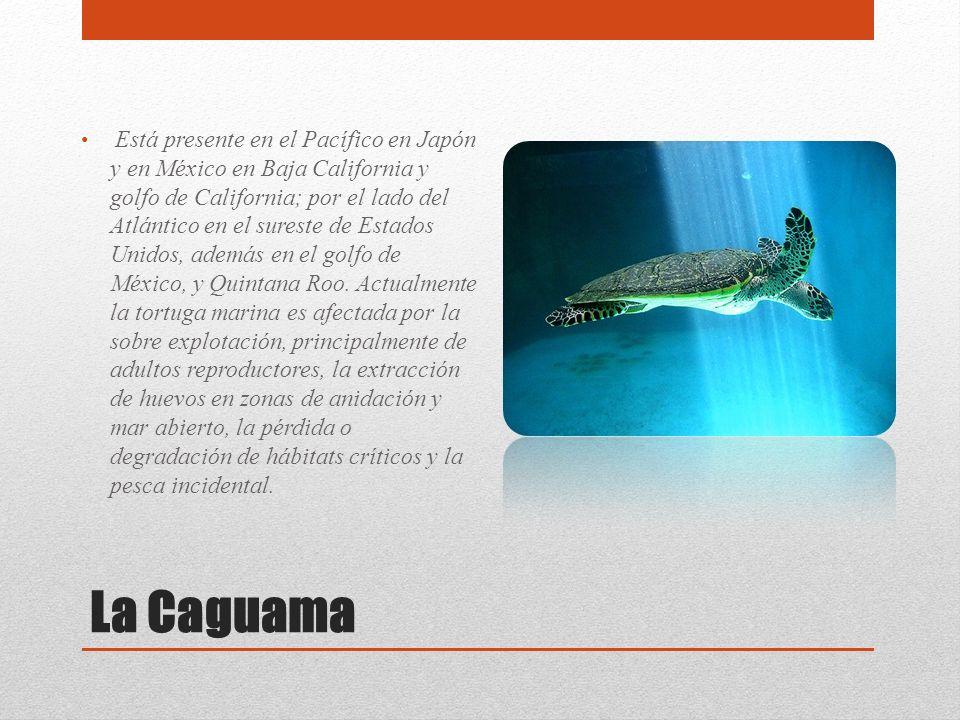 La Caguama Está presente en el Pacífico en Japón y en México en Baja California y golfo de California; por el lado del Atlántico en el sureste de Esta