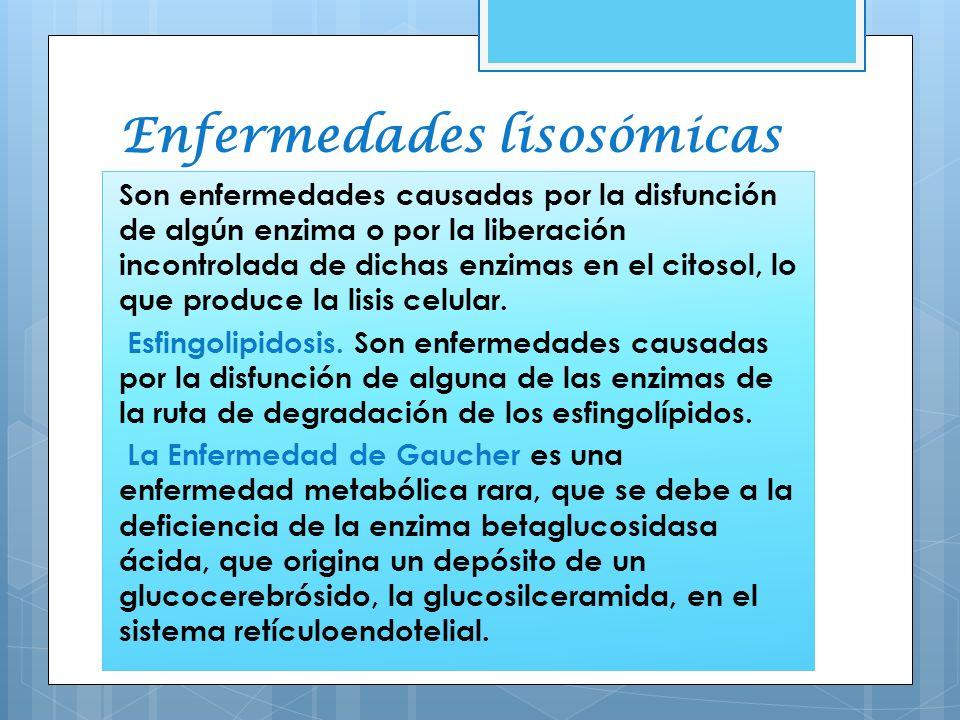 Enfermedades lisosómicas Son enfermedades causadas por la disfunción de algún enzima o por la liberación incontrolada de dichas enzimas en el citosol,