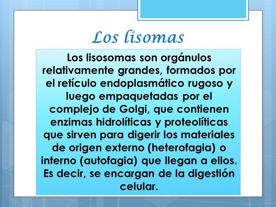 Los lisomas Los lisosomas son orgánulos relativamente grandes, formados por el retículo endoplasmático rugoso y luego empaquetadas por el complejo de