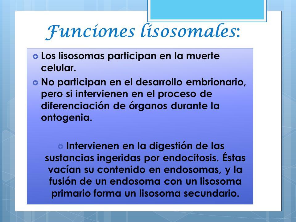 Funciones lisosomales : Los lisosomas participan en la muerte celular. No participan en el desarrollo embrionario, pero si intervienen en el proceso d