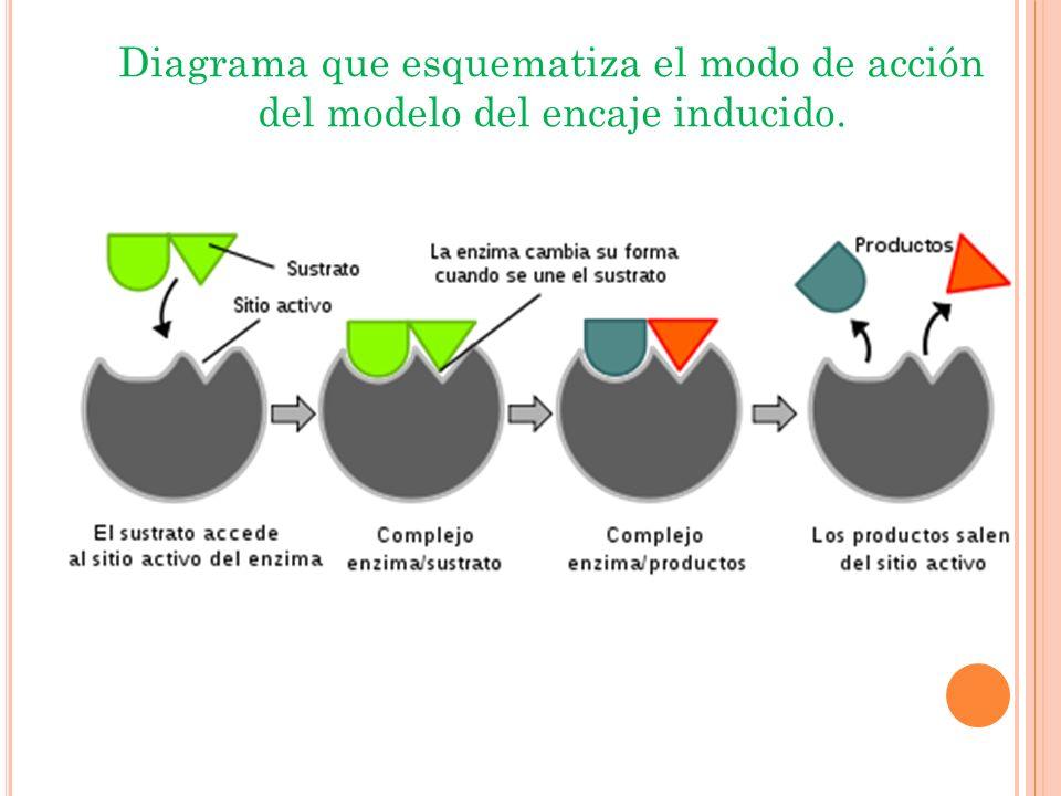 LAS ENZIMAS COMO CATALIZADORES BIOLÓGICOS Las enzimas son biocatalizadores complejos de gran especificidad y eficiencia, producidos por las células de organismos vivos.