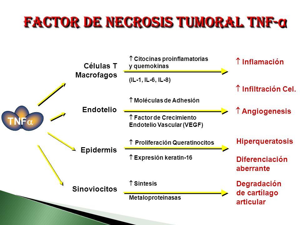 Células T Macrofagos Epidermis Endotelio Sinoviocitos Citocinas proinflamatorias y quemokinas (IL-1, IL-6, IL-8) Moléculas de Adhesión Factor de Crecimiento Endotelio Vascular (VEGF) Proliferación Queratinocitos Expresión keratin-16 Sintesis Metaloproteinasas Inflamación Infiltración Cel.
