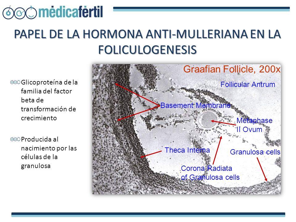 PAPEL DE LA HORMONA ANTI-MULLERIANA EN LA FOLICULOGENESIS Glicoproteína de la familia del factor beta de transformación de crecimiento Producida al na