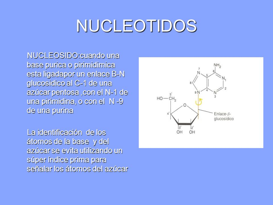 NUCLEOTIDOS NUCLEOSIDO:cuando una base purica o pirimidimica esta ligadapor un enlace B-N glucosidico al C-1 de una azúcar pentosa,con el N-1 de una p