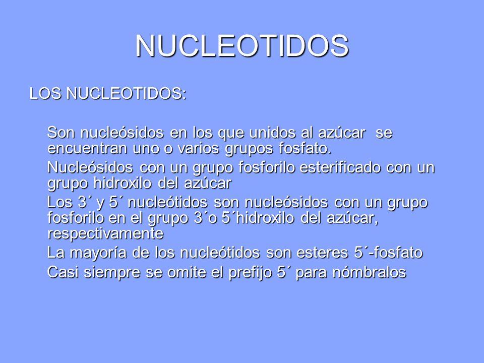 NUCLEOTIDOS LOS NUCLEOTIDOS: Son nucleósidos en los que unidos al azúcar se encuentran uno o varios grupos fosfato. Son nucleósidos en los que unidos