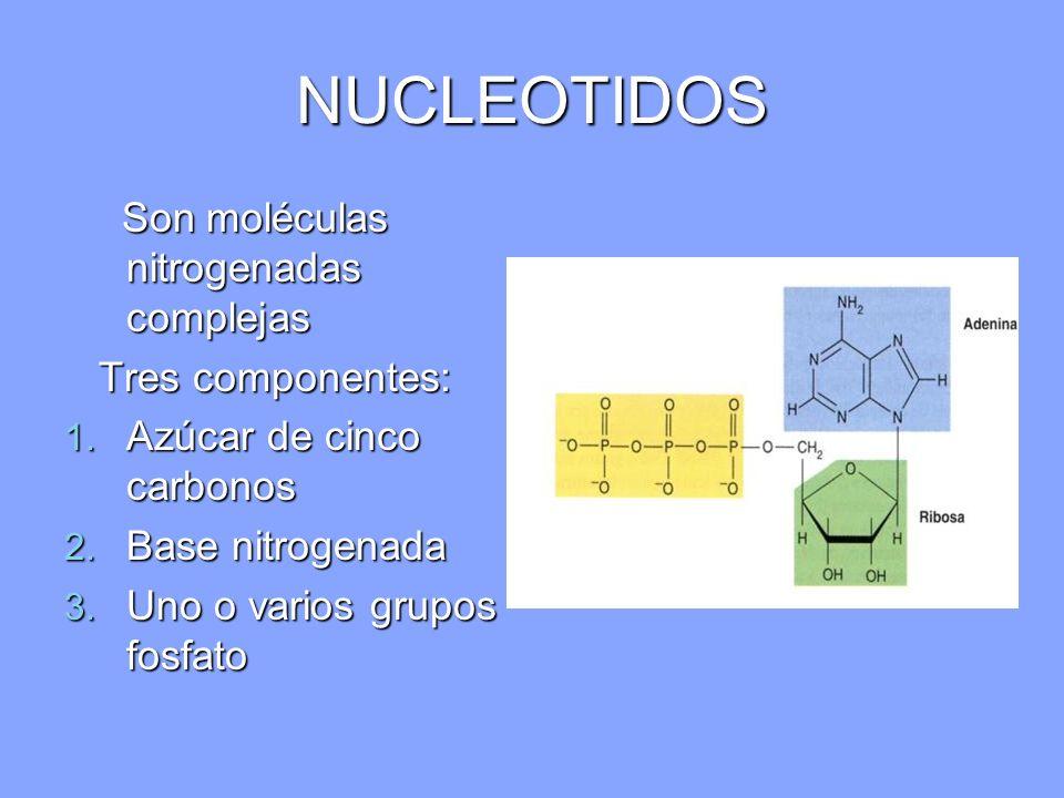 NUCLEOTIDOS Son moléculas nitrogenadas complejas Son moléculas nitrogenadas complejas Tres componentes: Tres componentes: 1. Azúcar de cinco carbonos