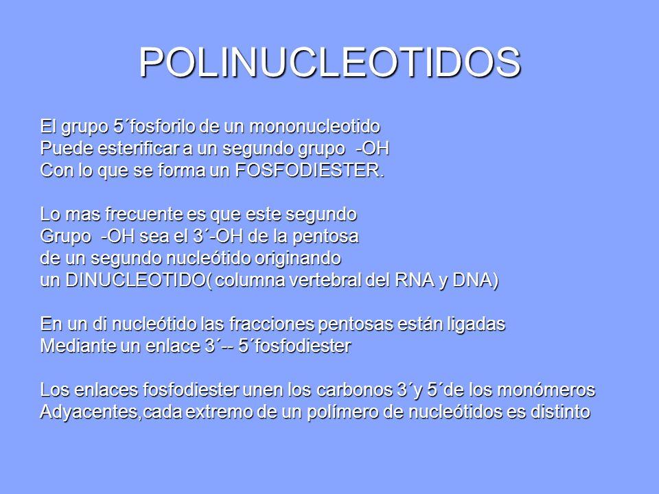 POLINUCLEOTIDOS El grupo 5´fosforilo de un mononucleotido Puede esterificar a un segundo grupo -OH Con lo que se forma un FOSFODIESTER. Lo mas frecuen