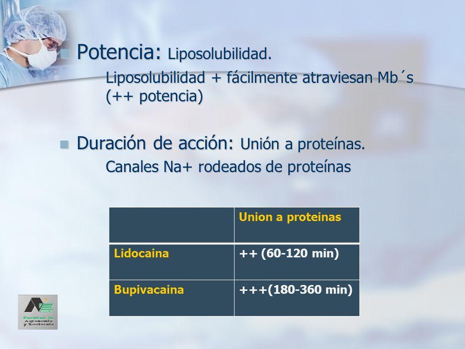 Potencia: Liposolubilidad. Potencia: Liposolubilidad. Liposolubilidad + fácilmente atraviesan Mb´s (++ potencia) Duración de acción: Unión a proteínas