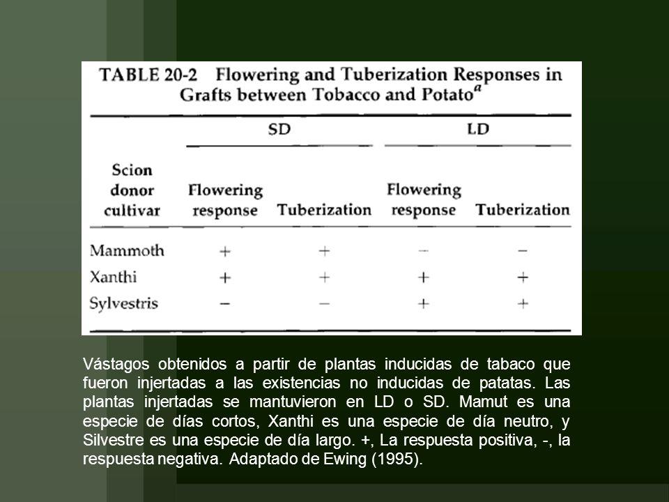 Vástagos obtenidos a partir de plantas inducidas de tabaco que fueron injertadas a las existencias no inducidas de patatas.