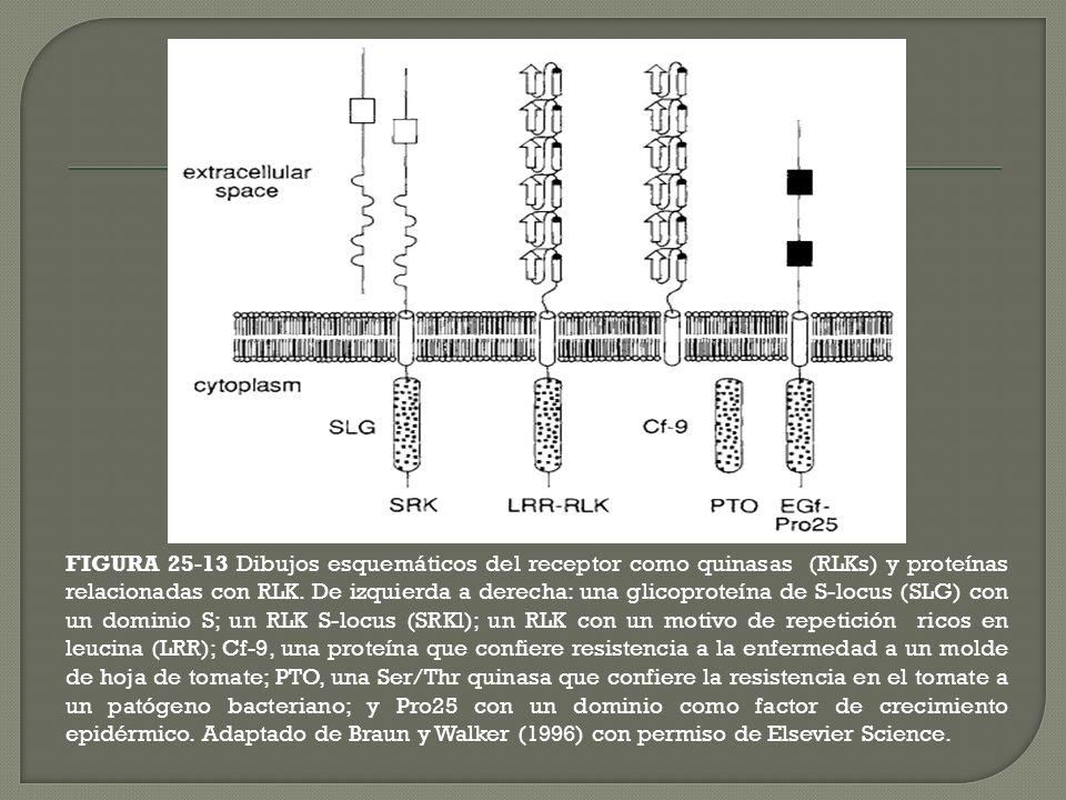 FIGURA 25-13 Dibujos esquemáticos del receptor como quinasas (RLKs) y proteínas relacionadas con RLK. De izquierda a derecha: una glicoproteína de S-l
