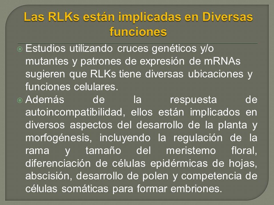 Estudios utilizando cruces genéticos y/o mutantes y patrones de expresión de mRNAs sugieren que RLKs tiene diversas ubicaciones y funciones celulares.