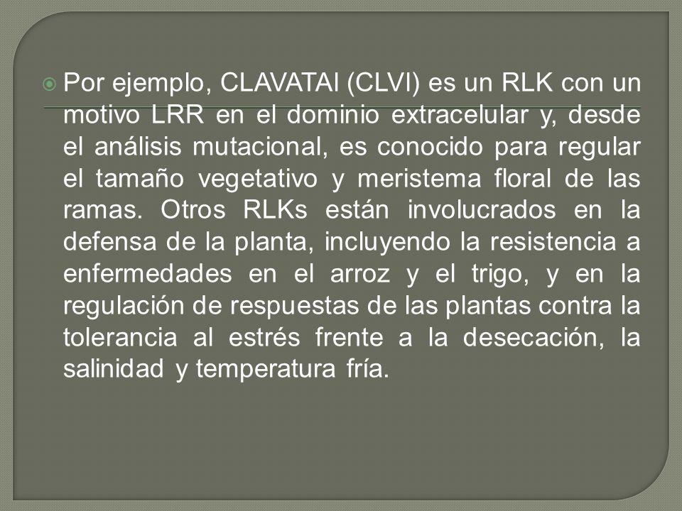 Por ejemplo, CLAVATAl (CLVl) es un RLK con un motivo LRR en el dominio extracelular y, desde el análisis mutacional, es conocido para regular el tamaño vegetativo y meristema floral de las ramas.