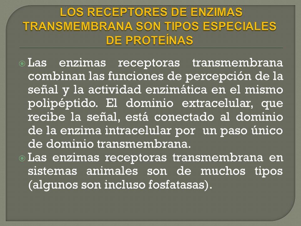 Las enzimas receptoras transmembrana combinan las funciones de percepción de la señal y la actividad enzimática en el mismo polipéptido.