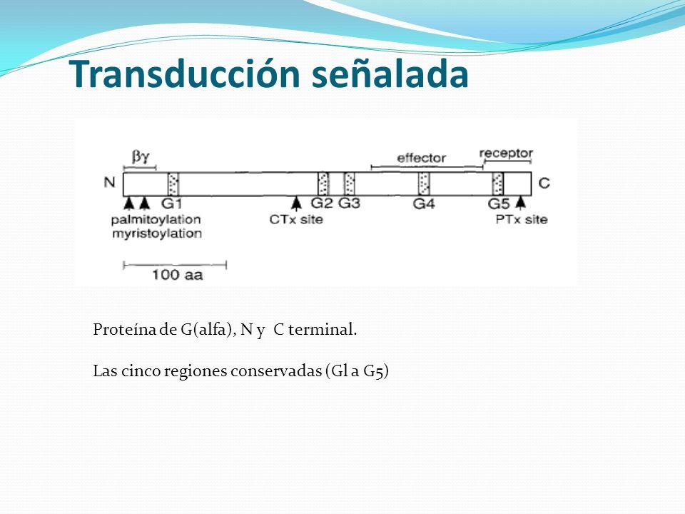Transducción señalada Proteína de G(alfa), N y C terminal. Las cinco regiones conservadas (Gl a G5)