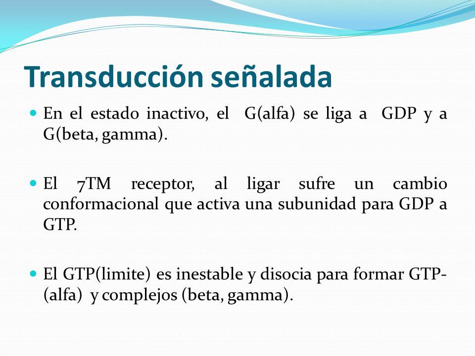Transducción señalada En el estado inactivo, el G(alfa) se liga a GDP y a G(beta, gamma). El 7TM receptor, al ligar sufre un cambio conformacional que