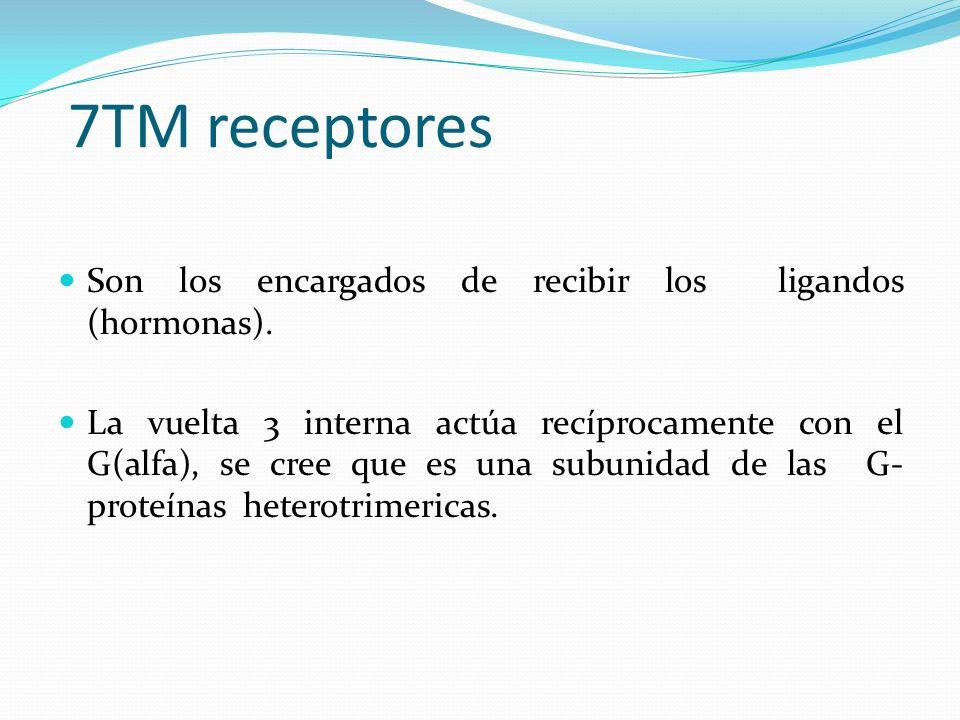 7TM receptores Son los encargados de recibir los ligandos (hormonas). La vuelta 3 interna actúa recíprocamente con el G(alfa), se cree que es una subu