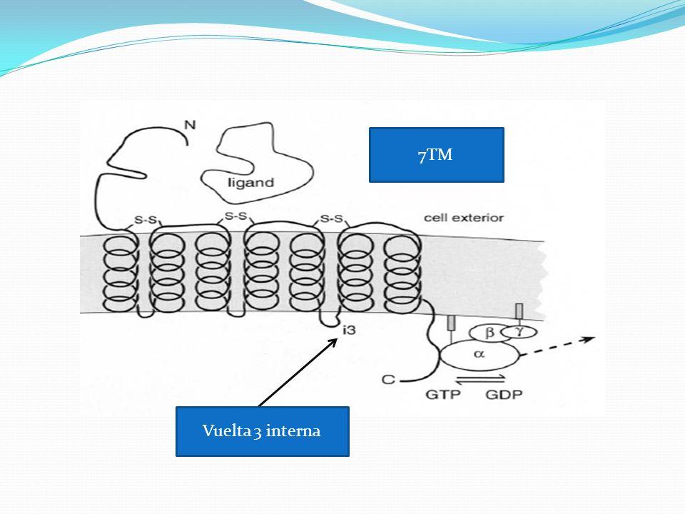 Transducción señalada En el estado inactivo, el G(alfa) se liga a GDP y a G(beta, gamma).
