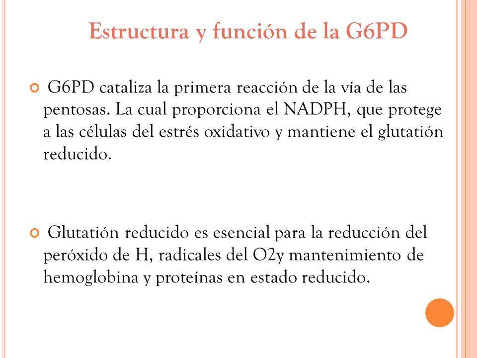 Estructura y función de la G6PD G6PD cataliza la primera reacción de la vía de las pentosas. La cual proporciona el NADPH, que protege a las células d