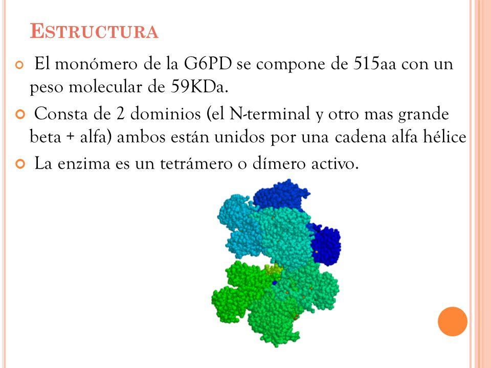 E STRUCTURA El monómero de la G6PD se compone de 515aa con un peso molecular de 59KDa. Consta de 2 dominios (el N-terminal y otro mas grande beta + al