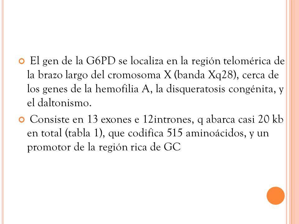 El gen de la G6PD se localiza en la región telomérica de la brazo largo del cromosoma X (banda Xq28), cerca de los genes de la hemofilia A, la disquer