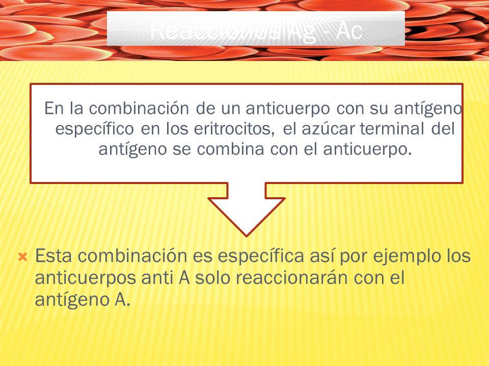 En la combinación de un anticuerpo con su antígeno específico en los eritrocitos, el azúcar terminal del antígeno se combina con el anticuerpo.