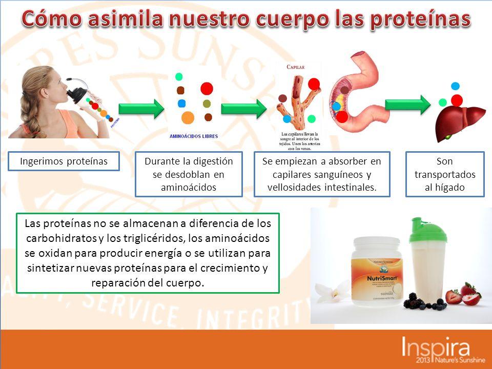 Ingerimos proteínasDurante la digestión se desdoblan en aminoácidos Se empiezan a absorber en capilares sanguíneos y vellosidades intestinales.