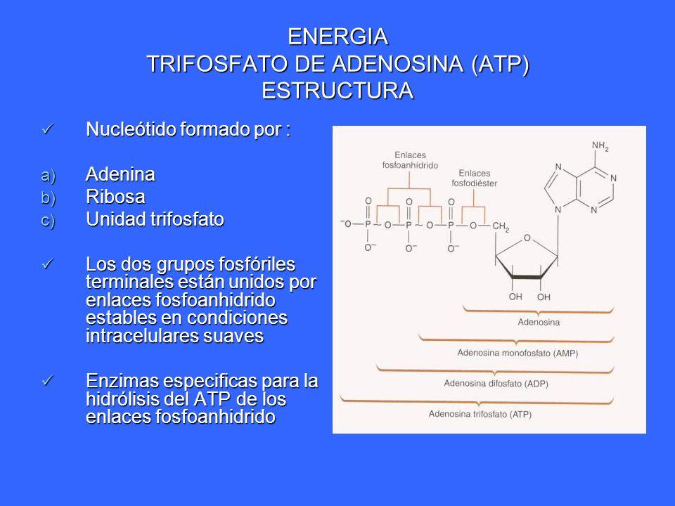 ENERGIA TRIFOSFATO DE ADENOSINA (ATP) ESTRUCTURA Nucleótido formado por : Nucleótido formado por : a) Adenina b) Ribosa c) Unidad trifosfato Los dos g