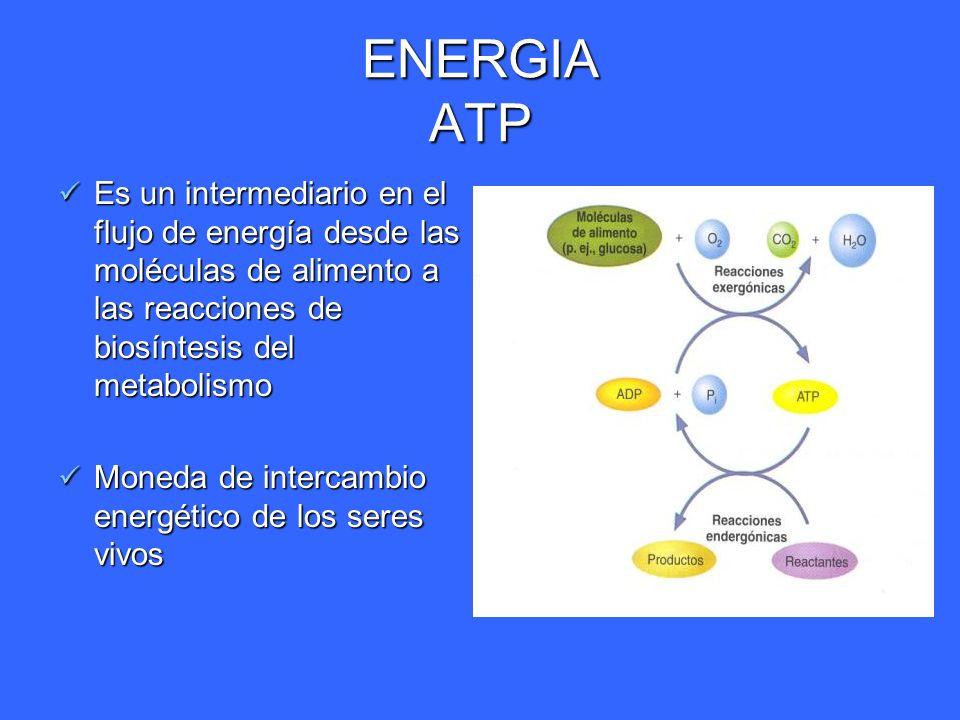 ENERGIA ATP Es un intermediario en el flujo de energía desde las moléculas de alimento a las reacciones de biosíntesis del metabolismo Es un intermedi
