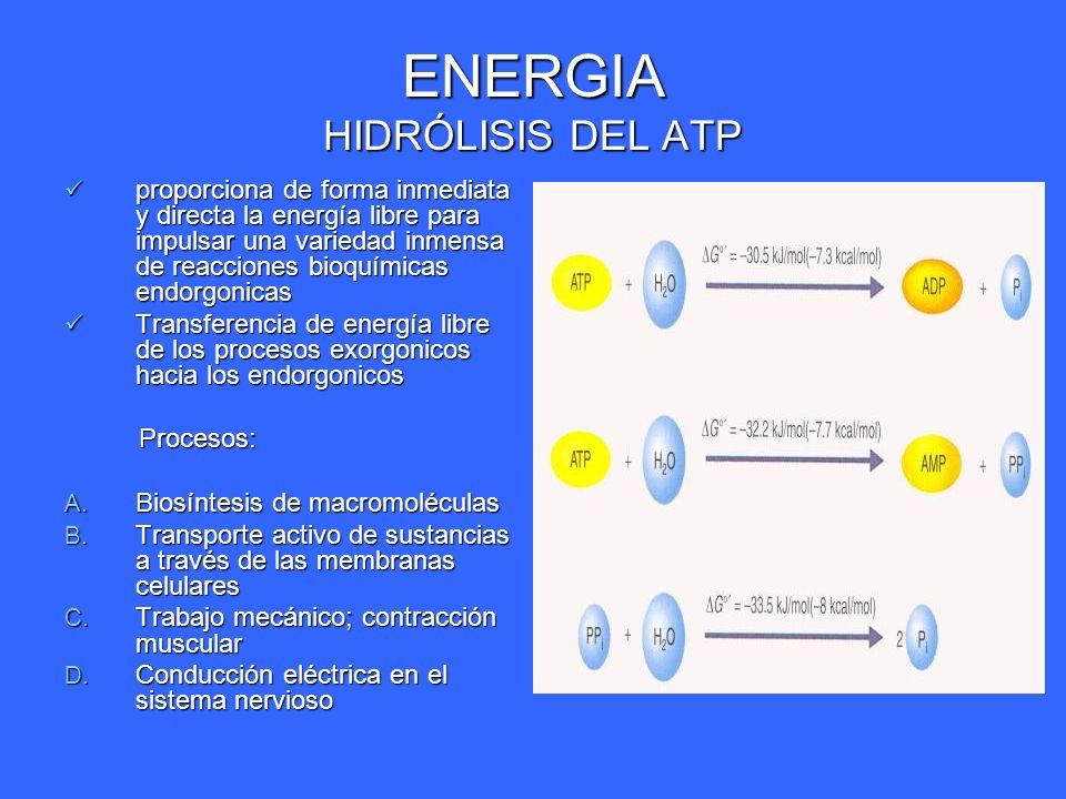 ENERGIA HIDRÓLISIS DEL ATP proporciona de forma inmediata y directa la energía libre para impulsar una variedad inmensa de reacciones bioquímicas endo