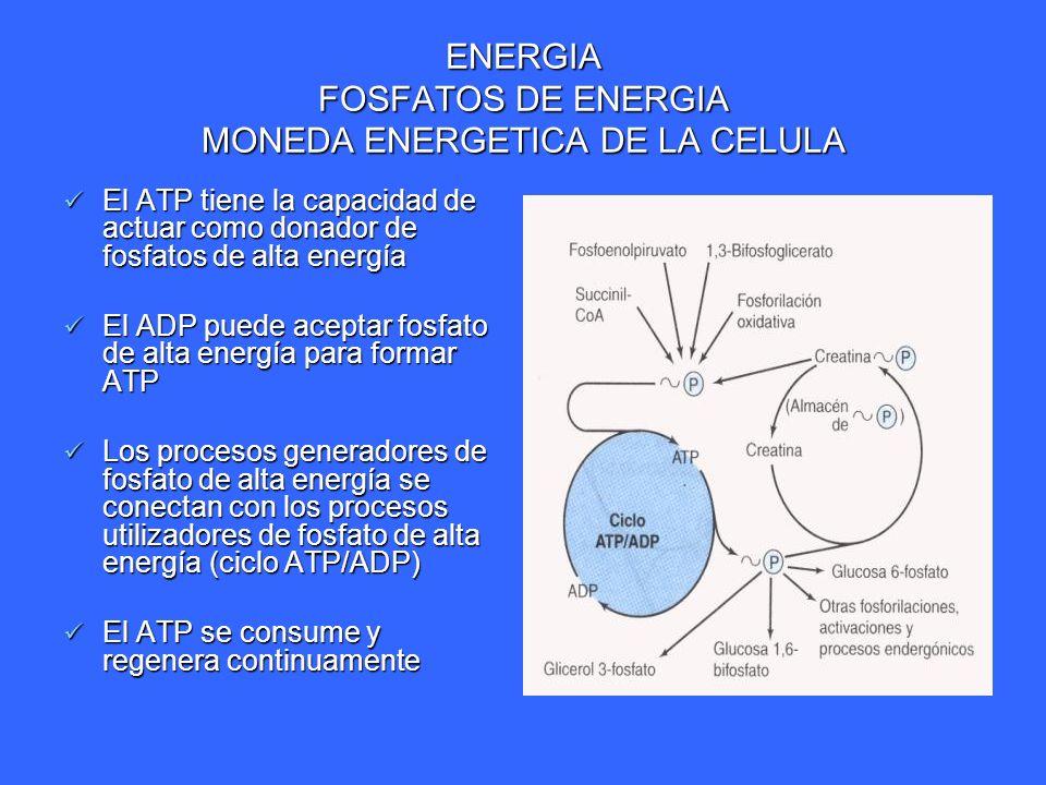 ENERGIA FOSFATOS DE ENERGIA MONEDA ENERGETICA DE LA CELULA El ATP tiene la capacidad de actuar como donador de fosfatos de alta energía El ATP tiene l