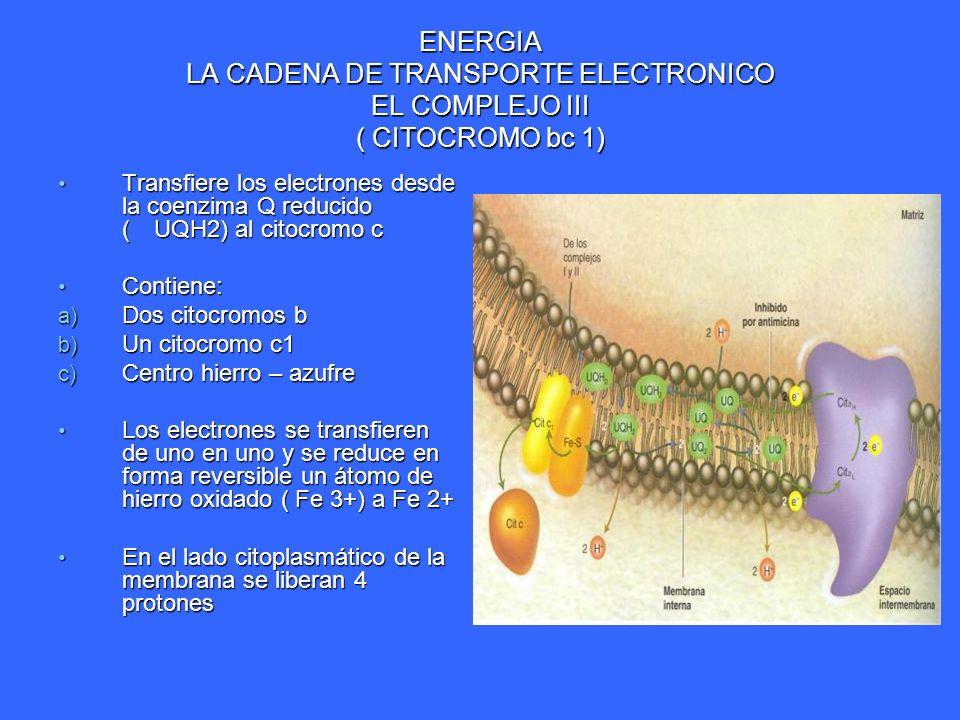 ENERGIA LA CADENA DE TRANSPORTE ELECTRONICO EL COMPLEJO III ( CITOCROMO bc 1) Transfiere los electrones desde la coenzima Q reducido (UQH2) al citocro