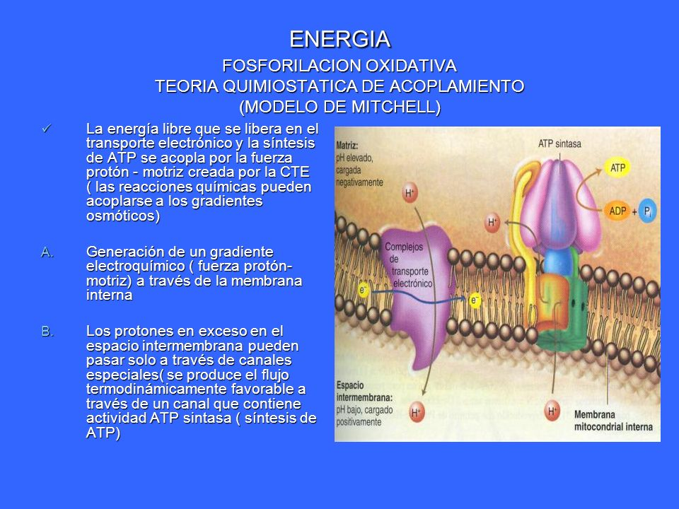 ENERGIA FOSFORILACION OXIDATIVA TEORIA QUIMIOSTATICA DE ACOPLAMIENTO (MODELO DE MITCHELL) La energía libre que se libera en el transporte electrónico