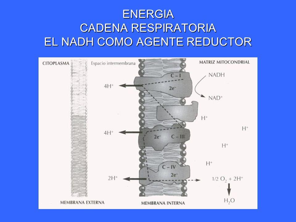 ENERGIA CADENA RESPIRATORIA EL NADH COMO AGENTE REDUCTOR