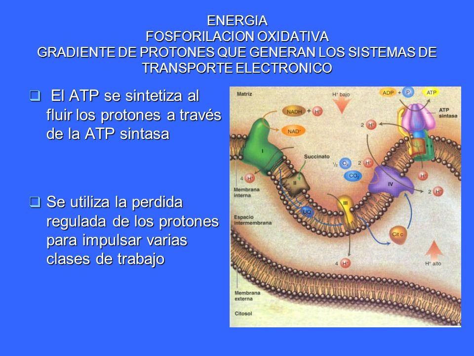 ENERGIA FOSFORILACION OXIDATIVA GRADIENTE DE PROTONES QUE GENERAN LOS SISTEMAS DE TRANSPORTE ELECTRONICO El ATP se sintetiza al fluir los protones a t