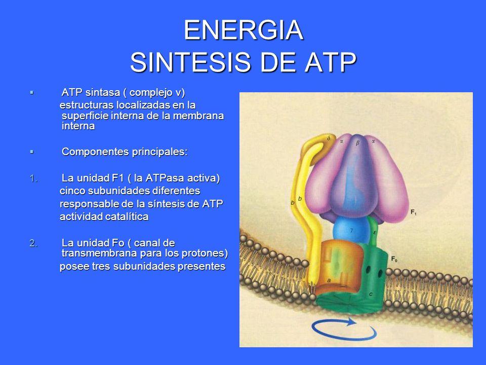ENERGIA SINTESIS DE ATP ATP sintasa ( complejo v) ATP sintasa ( complejo v) estructuras localizadas en la superficie interna de la membrana interna es