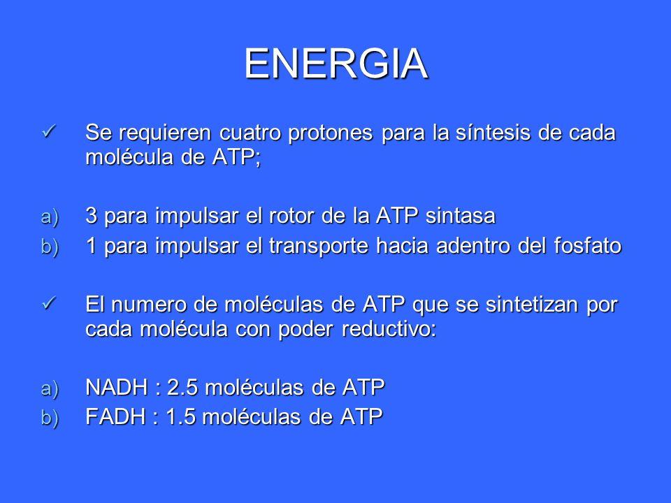 ENERGIA Se requieren cuatro protones para la síntesis de cada molécula de ATP; Se requieren cuatro protones para la síntesis de cada molécula de ATP;