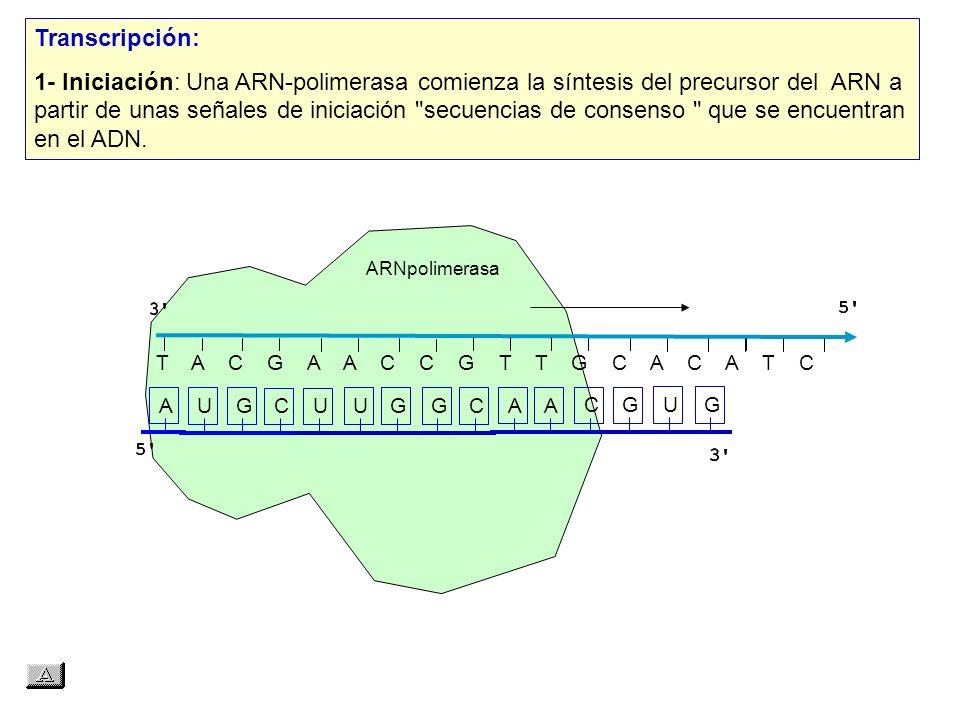 T A C G A A C C G T T G C A C A T C AUGCUUGGCAACGUG Transcripción: 1- Iniciación: Una ARN polimerasa comienza la síntesis del precursor del ARN a partir de unas señales de iniciación secuencias de consenso que se encuentran en el ADN.