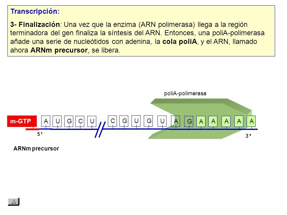 ARNm precursor AAAAAA AUG UAG cola 4.