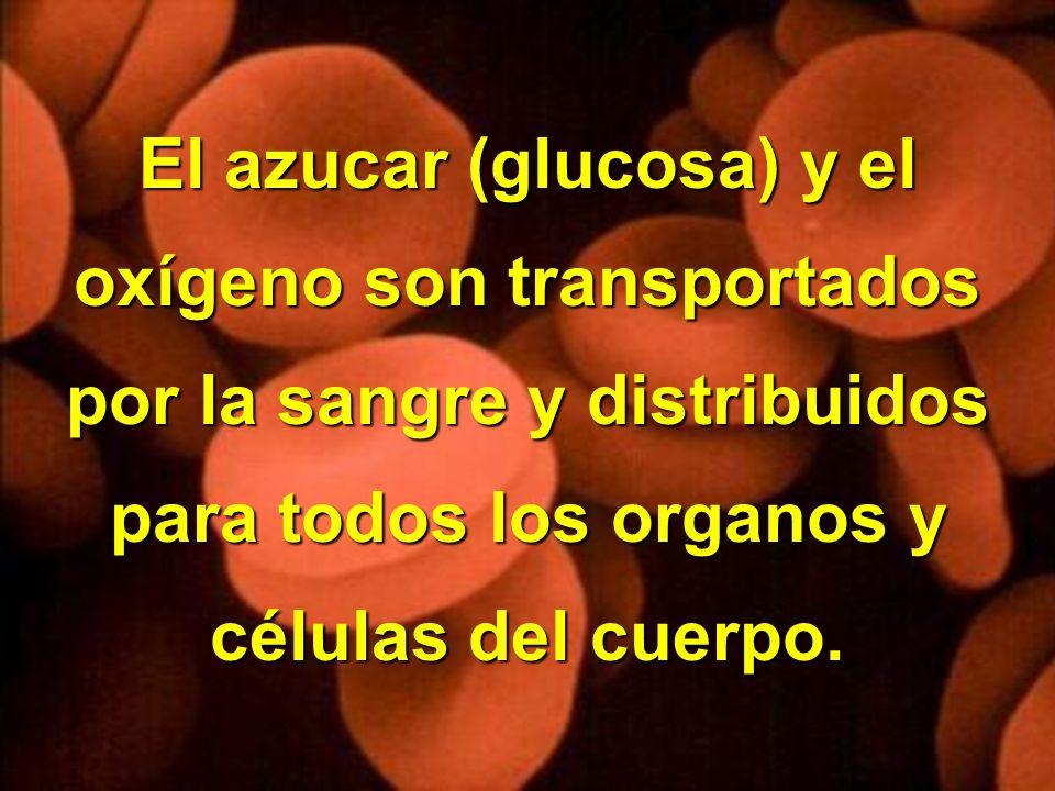 Copyright © RHVIDA S/C Ltda. www.rhvida.com.br El azucar (glucosa) y el oxígeno son transportados por la sangre y distribuidos para todos los organos