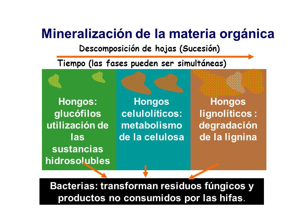 Mineralización de la materia orgánica Descomposición de hojas (Sucesión) Tiempo (las fases pueden ser simultáneas) Hongos: glucófilos utilización de l