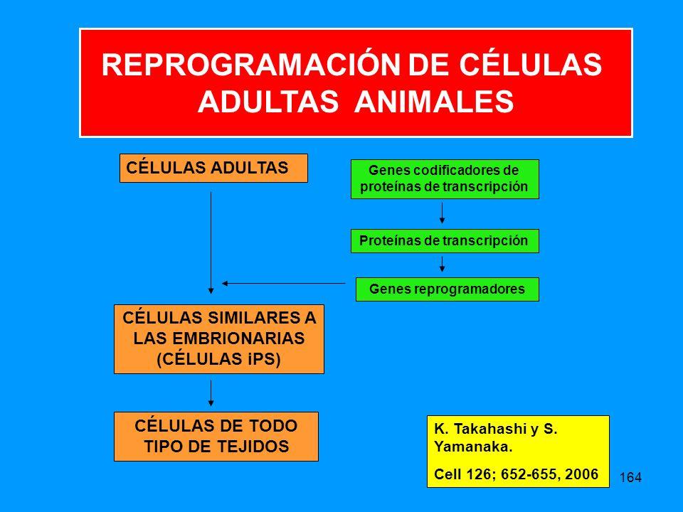 164 CÉLULAS ADULTAS CÉLULAS SIMILARES A LAS EMBRIONARIAS (CÉLULAS iPS) CÉLULAS DE TODO TIPO DE TEJIDOS Genes codificadores de proteínas de transcripción Proteínas de transcripción Genes reprogramadores REPROGRAMACIÓN DE CÉLULAS ADULTAS ANIMALES K.