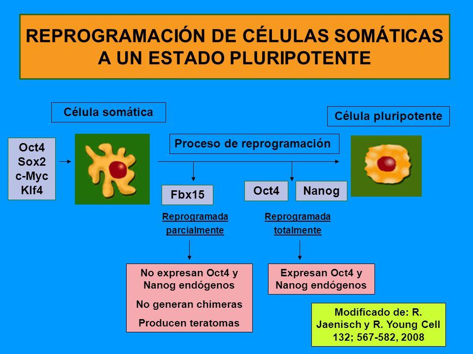 165 REPROGRAMACIÓN DE CÉLULAS SOMÁTICAS A UN ESTADO PLURIPOTENTE Célula somática Oct4 Sox2 c-Myc Klf4 Proceso de reprogramación Reprogramada parcialmente Reprogramada totalmente Célula pluripotente Fbx15 NanogOct4 No expresan Oct4 y Nanog endógenos No generan chimeras Producen teratomas Expresan Oct4 y Nanog endógenos Modificado de: R.