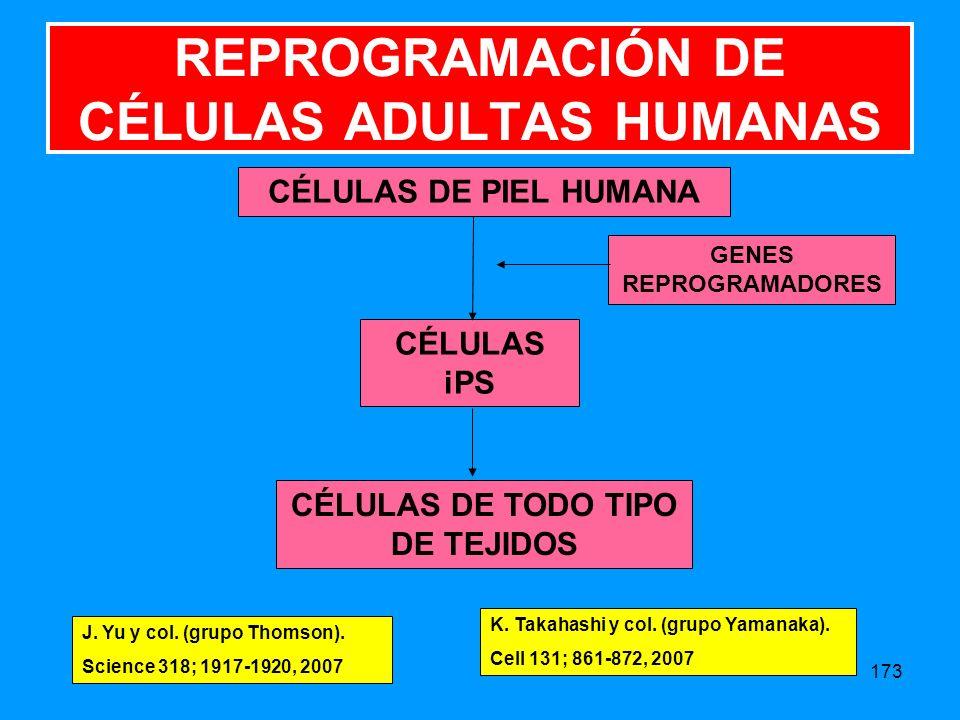 173 CÉLULAS DE PIEL HUMANA CÉLULAS iPS GENES REPROGRAMADORES CÉLULAS DE TODO TIPO DE TEJIDOS REPROGRAMACIÓN DE CÉLULAS ADULTAS HUMANAS J.