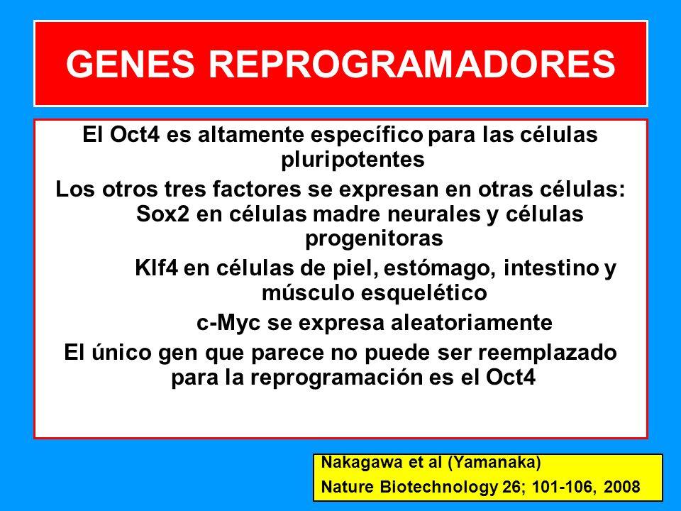 177 GENES REPROGRAMADORES El Oct4 es altamente específico para las células pluripotentes Los otros tres factores se expresan en otras células: Sox2 en células madre neurales y células progenitoras Klf4 en células de piel, estómago, intestino y músculo esquelético c-Myc se expresa aleatoriamente El único gen que parece no puede ser reemplazado para la reprogramación es el Oct4 Nakagawa et al (Yamanaka) Nature Biotechnology 26; 101-106, 2008