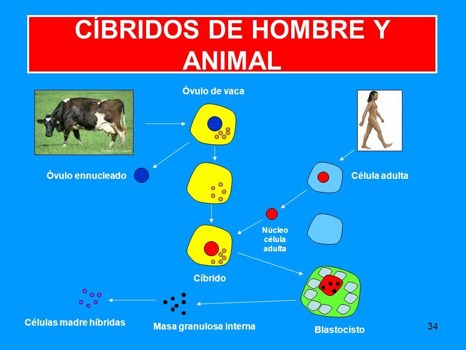 34 CÍBRIDOS DE HOMBRE Y ANIMAL Óvulo de vaca Célula adultaÓvulo ennucleado Núcleo célula adulta Blastocisto Cíbrido Células madre híbridas Masa granulosa interna