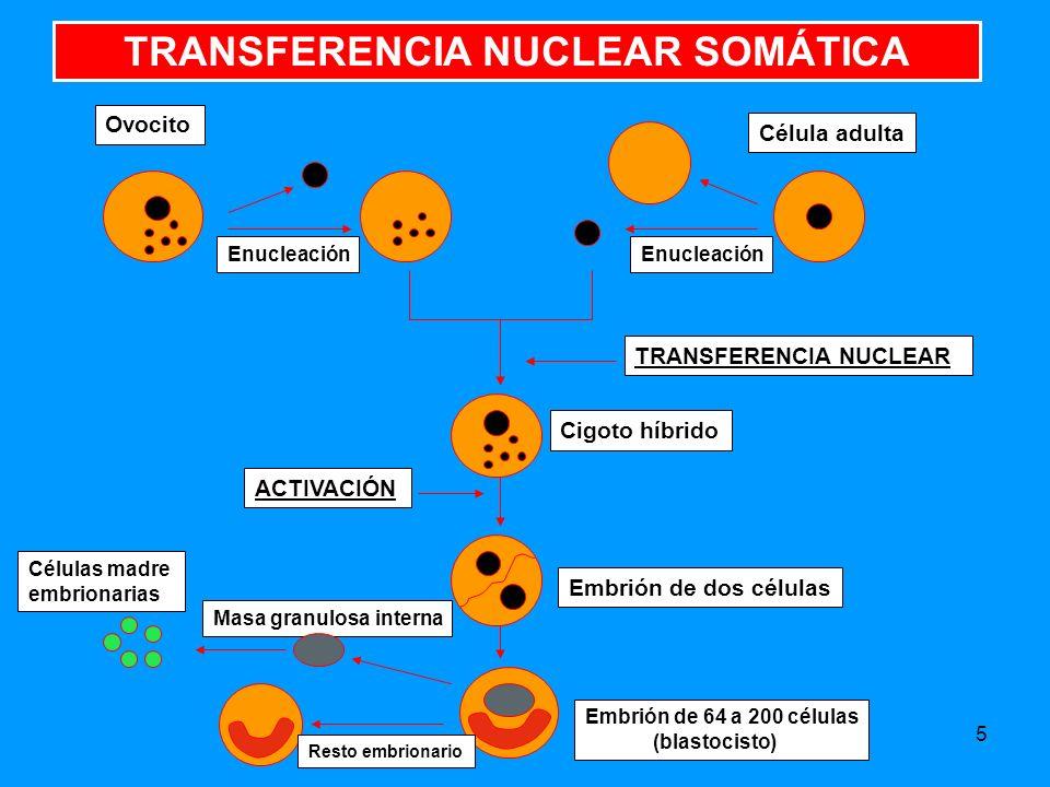 5 TRANSFERENCIA NUCLEAR SOMÁTICA Ovocito Célula adulta Enucleación ACTIVACIÓN TRANSFERENCIA NUCLEAR Cigoto híbrido Embrión de dos células Masa granulosa interna Resto embrionario Células madre embrionarias Embrión de 64 a 200 células (blastocisto)