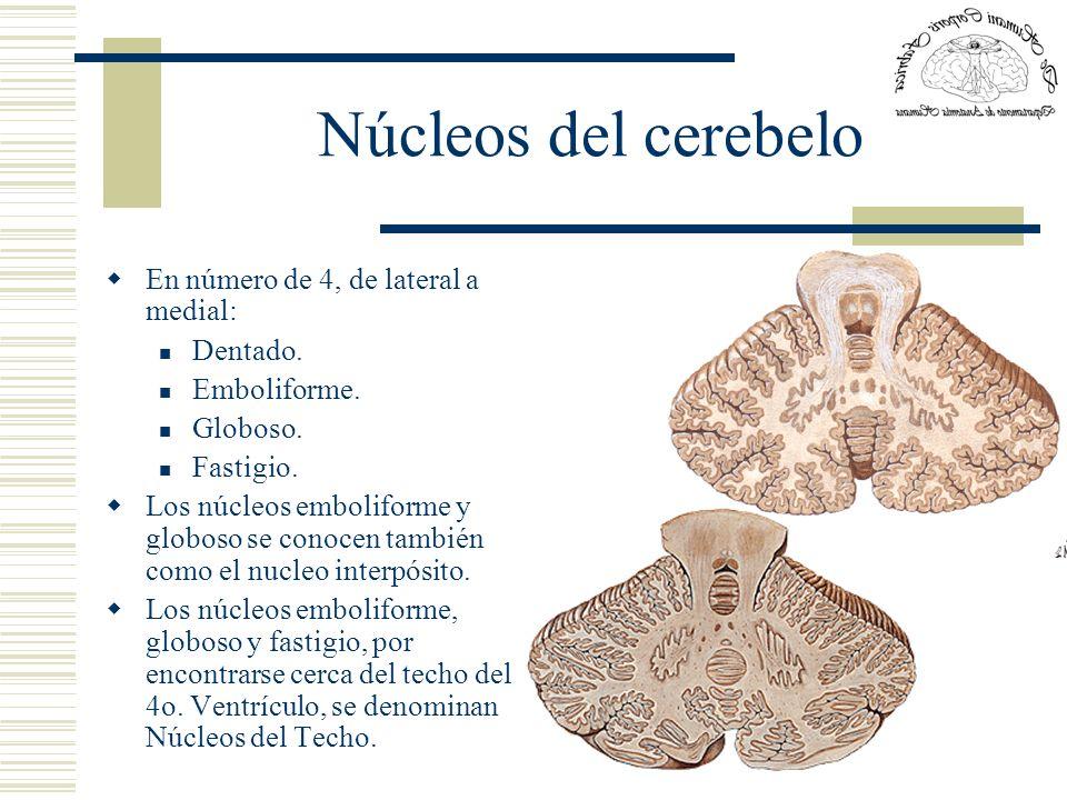 Núcleos del cerebelo En número de 4, de lateral a medial: Dentado. Emboliforme. Globoso. Fastigio. Los núcleos emboliforme y globoso se conocen tambié