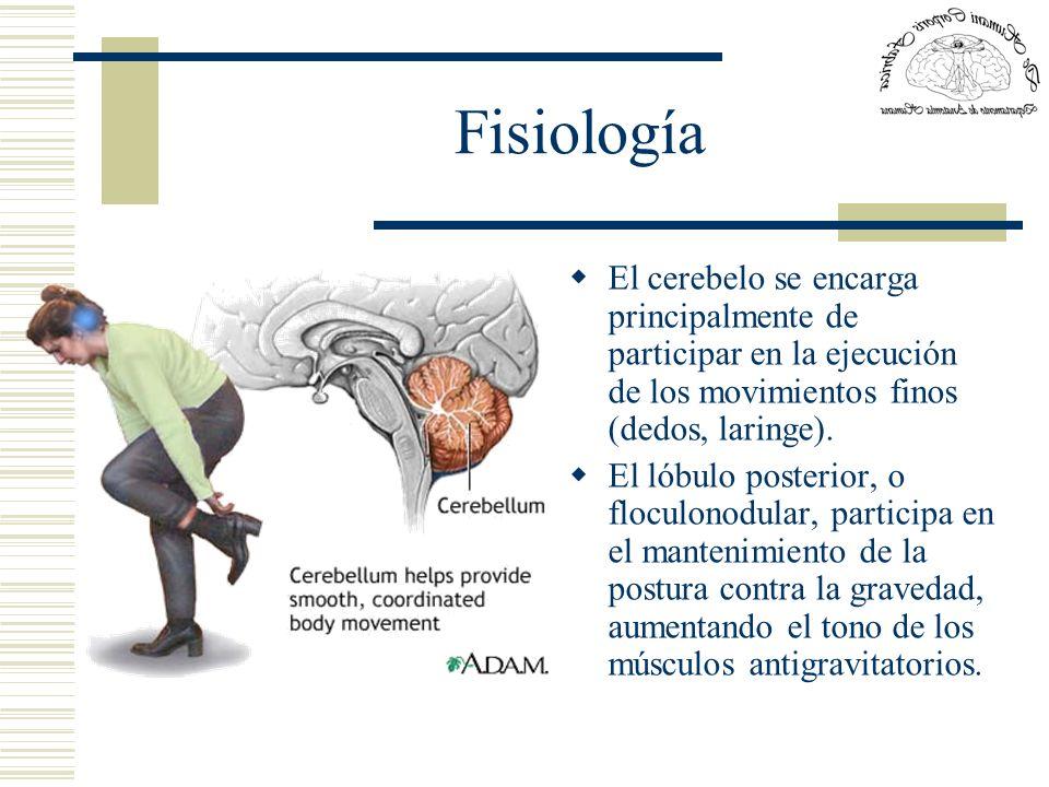 Fisiología El cerebelo se encarga principalmente de participar en la ejecución de los movimientos finos (dedos, laringe). El lóbulo posterior, o flocu