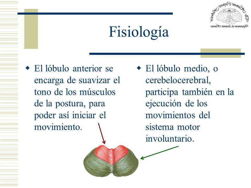 Fisiología El lóbulo anterior se encarga de suavizar el tono de los músculos de la postura, para poder así iniciar el movimiento. El lóbulo medio, o c