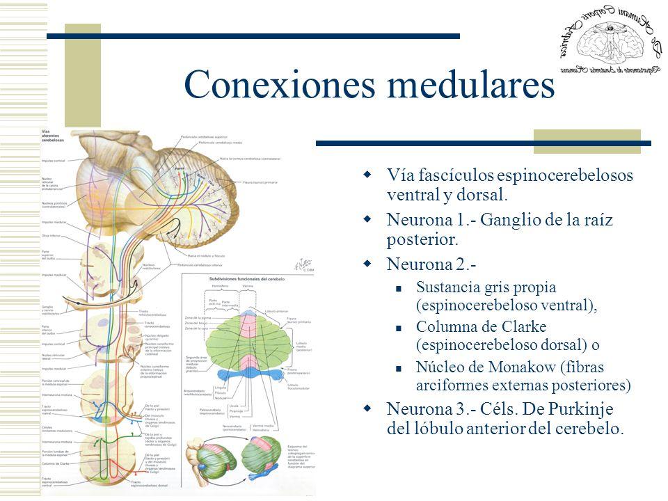 Conexiones medulares Vía fascículos espinocerebelosos ventral y dorsal. Neurona 1.- Ganglio de la raíz posterior. Neurona 2.- Sustancia gris propia (e